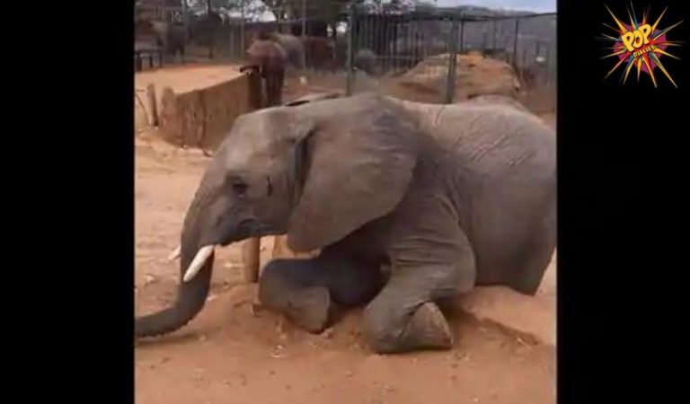 Adorable!! The keeper catches an elephant trying to scale the wall, gentle giant reacts hilariously! Tap to Watch!