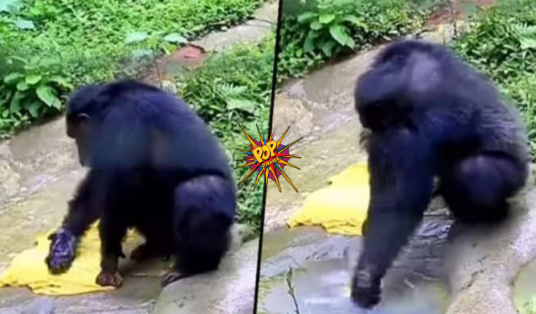 Viral Video: Chimpanzee washes clothes in 'Desi Style' just like humans, Watch